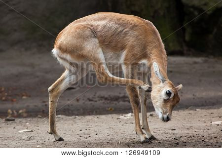 Indian blackbuck (Antilope cervicapra). Wild life animal.