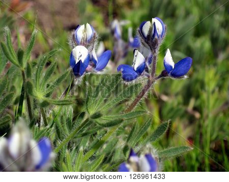 Small-flowered Lupine (Lupinus polycarpus) flowering in the wild
