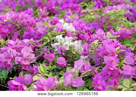 Bougainvillea Hybrida Or Paper Flower