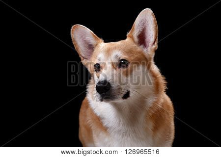 Dog breed Welsh Corgi Pembroke portrait on a black background