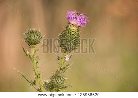 Plants and Nature - A Spring Thistle on a clean, out of focus natural background