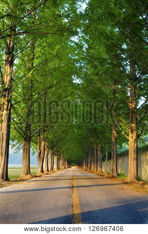 Tall tree lined straight road with diminishing perspective