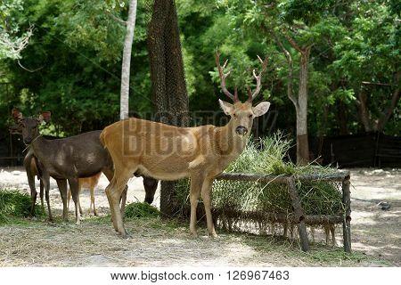 Brow Antlered Deer