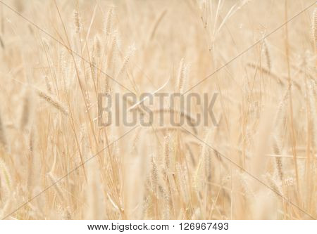 Golden grass flower (Feather Grass) with sunlight Warm Tone