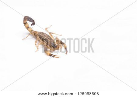 Brown scorpion isolate on white background ,Poison insect