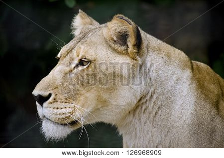 this is a close up of a lioness