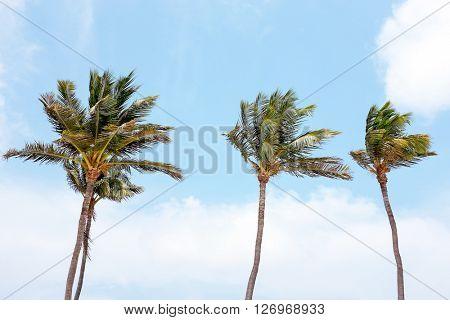 Waving palmtrees against a blue sky