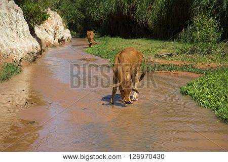 Young cow drinking from a Stream Fairies in the vicinity of Mui Ne. Vietnam