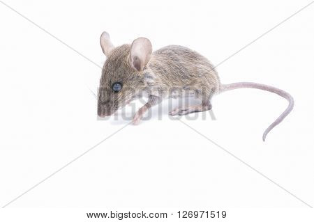 tiny rat isolated on a white background.