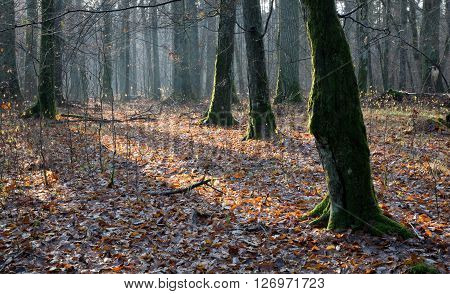 Deciduous Stand Of Bialowieza Forest In Autumn