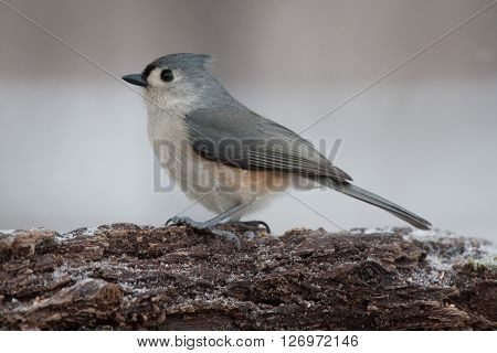 Tufted Titmouse Posing on a Natural Rotted Wood Perch