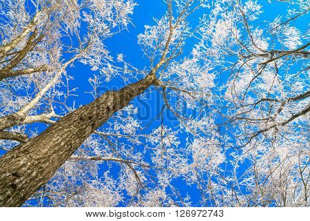 Frozen trees in winter with blue sky