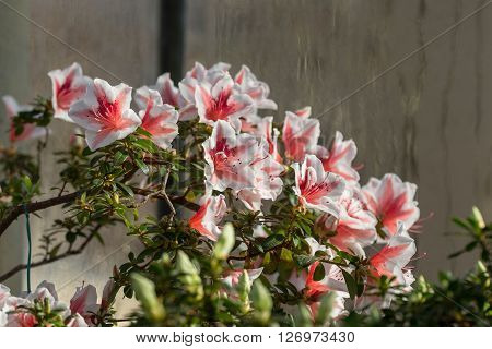 red and white azalea blossoms closeup in spring