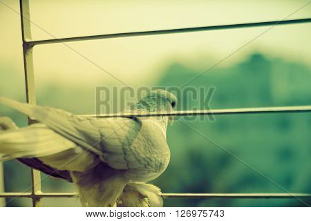 This is a photo of a pigeon taken one morning from my window. The attitude of the bird was that it wants to break the prison and want to fly with freedom