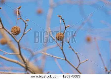 Tree Fruits Platanus Planetree against the sky