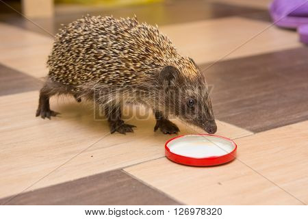 Hedgehog climbed into the house and found a cap with milk