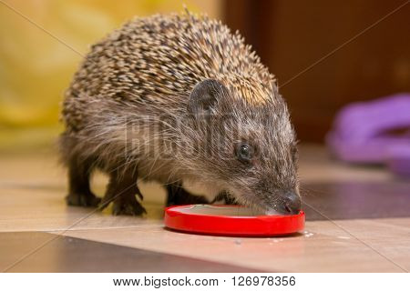 Hedgehog drinking milk with caps at home