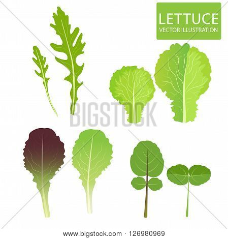 Lettuce Types Vector. Set Of Salad Bowl. Salad Vector Illustration. Vector Set Isolated On White Background. Lettuce Vegetable. Lettuce Leaf. Cress Red Lettuce Rucola Iceberg Arugula.