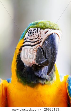 Blue-and-yellow macaw (Ara ararauna) big clever bright parrot.