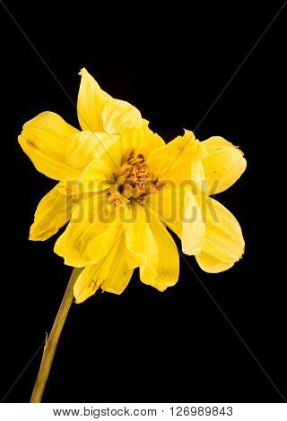 Yellow wither dying dahlia flower isolated on a black background