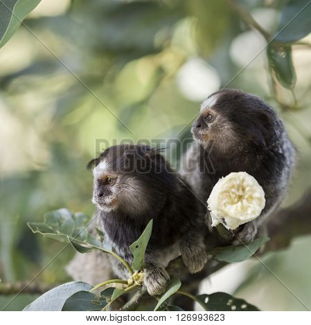 Two marmoset monkeys sitting on a tree and eating banana