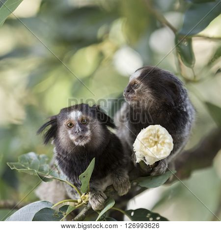 Two marmoset monkeys sitting a tree branch and eating a banana