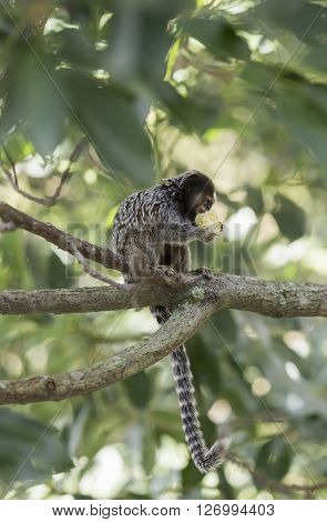 Marmoset monkey sitting on a tree branch and eating a banana