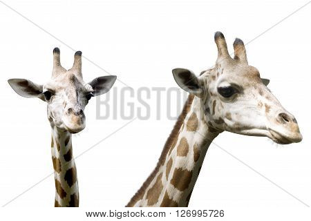 Set Of Image Giraffe Isolated