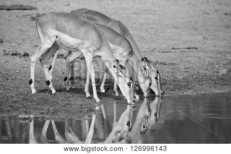 Large impala herd drinking water at a pond in the late afternoon