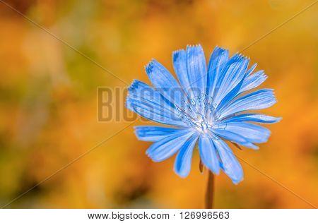 Beautiful Wild Plant Blue Chicory Flower On Orange Fantastic Background, Close Up