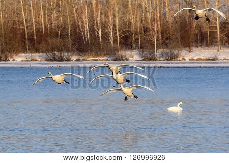 Beautiful view with a flock of swans flying against the lake and trees in winter sunny day