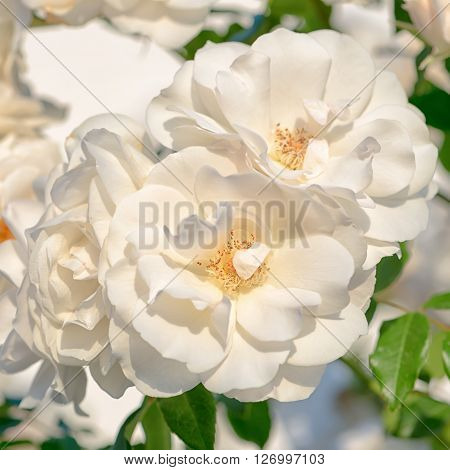 Abstract Romantic Beautiful White Rose Flower On Background, Close Up