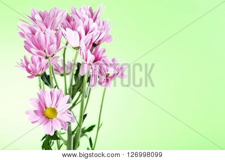 Pink Chrysanthemum Flowers On A Green Background