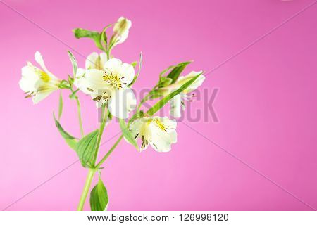 Beautiful Alstroemeria Flowers On A Pink Background