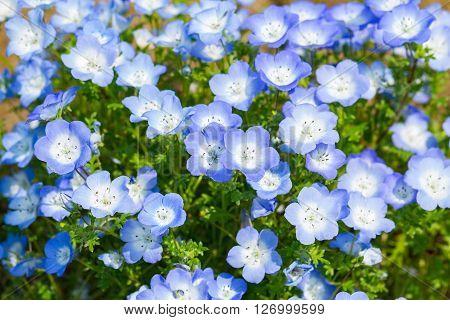 Carpet of Nemophila, or baby blue eyes flower