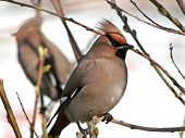 Cedar Waxwing And His Double.