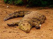 Big Old Croc poster