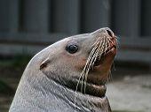 The Sea Lion.