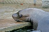 The Confused Sea Lion.