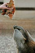 Camel And Oak Leaves.
