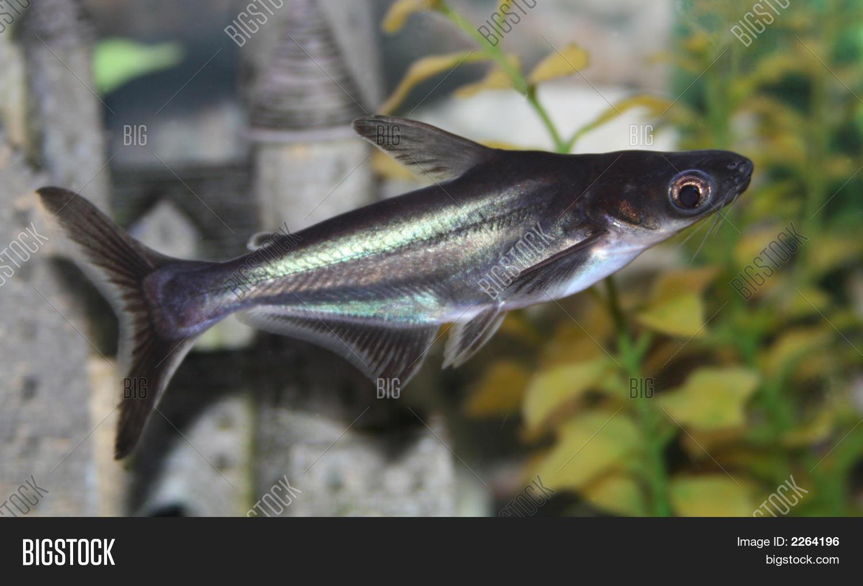 Swai fish vs catfish pangasius catfish www pixshark com for Swai fish wiki