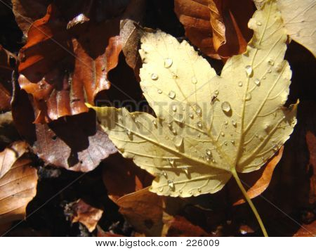 Wet Autumn Leaf