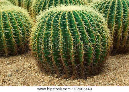 Close Up Shot Of Cacti