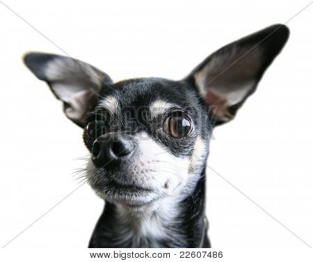 a cute chihuahua