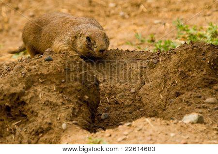 Prairie Dog