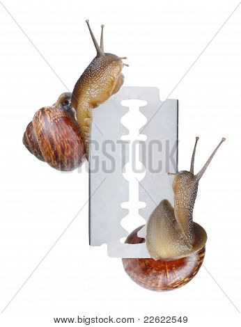 Two Snails On Razor