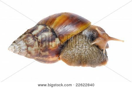 Big Snail Isolated