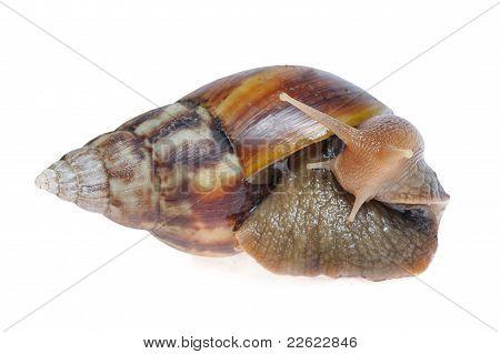 Big Snail