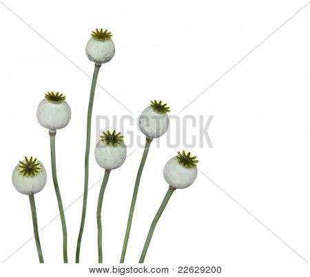 Big poppy heads on white background