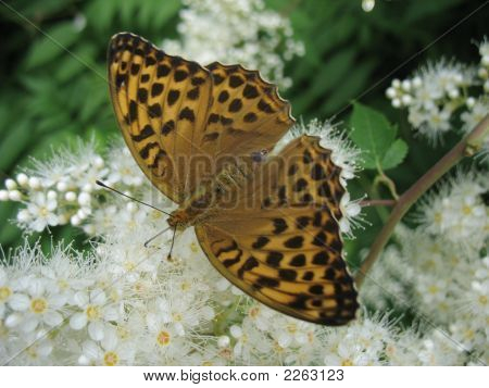 Butterfly On Whit